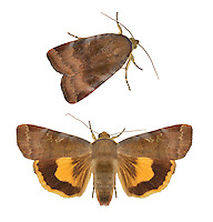73.348 (2111)<br /> Lesser Broad-bordered Yellow Underwing - Noctua janthe