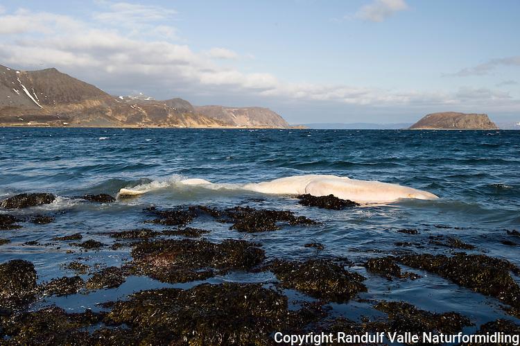 Strandet kadaver av spermhval på Magerøya ---- Stranded carcass of sperm whale