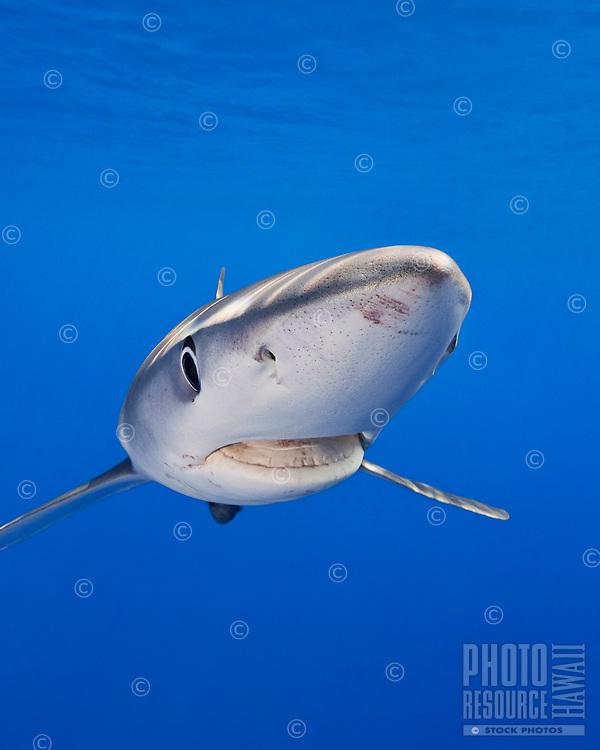 A large female blue shark (Prionace glauca), Big Island.