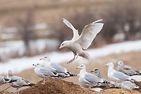 Immature, 1st winter Glaucous Gull (Larus hyperboreus) landing in a group of Herring Gulls (Larus argentatus). Tompkins County, New York. January.