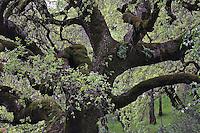 Interior Live Oak, Quercus wislizenii, Napa Valley, California