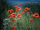 Marek, FLOWERS, BLUMEN, FLORES, photos+++++,PLMP0032W,#f#