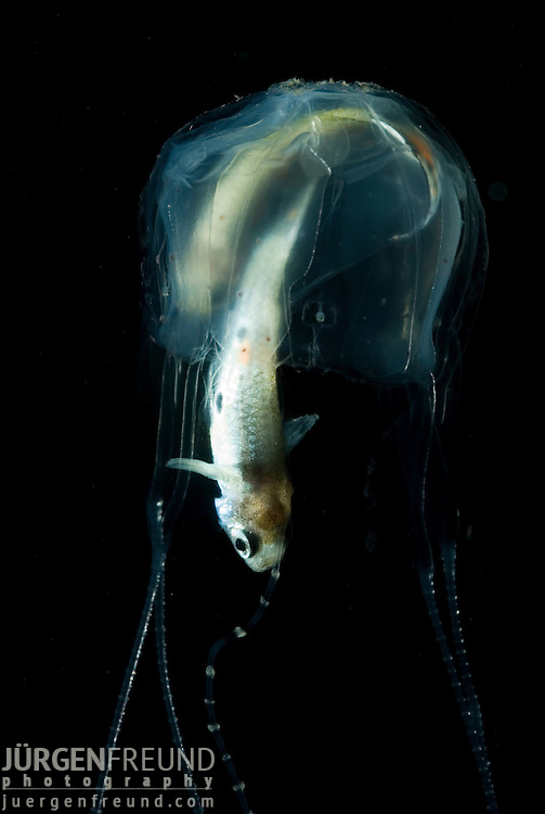 Irukandji box jellyfish jurgen freund for Freund s fish