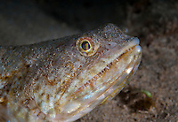 An underwater closeup of the toothy face of a twospot lizardfish along the Waianae coast of O'ahu.