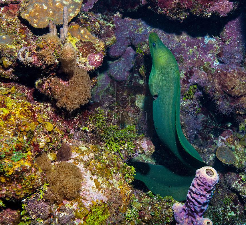 Green moray eel (Gymnothorax funebris) on reef; West End, Roatan, Honduras.