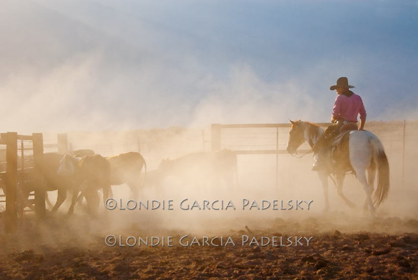 Sunrise, cowboy herding cattle into corrals at a dusty roundup in the Owens Valley, California.