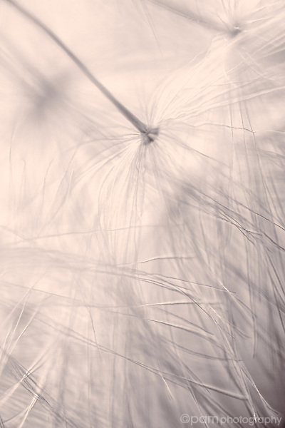 Close up of dandelion seed heads with lavender tint