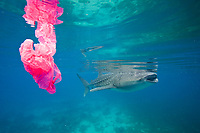 A whale shark swims by while a plastic bag floats around. Plastic kills way too much marine life. A whale shark, Rhincodon typus, swims by a plastic bag. Pollution like this can have negative effects on all marine life.