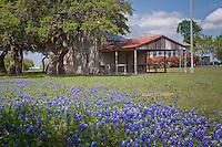 Blue Bonnets blooming in front of the historic Cherry Mountian School. In 1883, 10 students enrolled for classes in their new school at Cherry Mountain, northwest of Fredericksburg, on land donated by Carl Durst. The first school building was a log cabin type, to which a room constructed of limestone was later added. Teachers lived on the property in the loft or with close neighbors. <br /> <br /> When the school first started, drinking water was obtained from the William Thiele residence located about 250 yards from the school. Later, a well was drilled on the school property. At first, children drank water from a bucket using a single dipper. Later, students brought their own collapsible cups that were kept in their desks.<br /> <br /> A second school was built in 1926. Otto Thiele donated approximately 1&frac12; acres for this new school. Ed Roos did the masonry work, Fritz Rummler was the carpenter, and Otto Kentron and Otto Schuch were helpers. J. F. Oehler was the first teacher at the new school. Enrollment in the first year was 39 students, with 36 in attendance the second year. The first school started with five grades, with two more added later, followed by an eighth grade. In 1927-28, a ninth grade was also taught. Night school for eighth and ninth grades was added in 1931-33. Reinhold Weber was the teacher at the time. The school consolidated with Fredericksburg ISD in 1949.