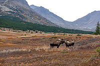Fall landscape of bull moose and cow courting in Chugach State Park.  Powerline pass area.  Anchorage, Alaska<br /> <br /> Photo by Jeff Schultz/SchultzPhoto.com  (C) 2018  ALL RIGHTS RESERVED<br /> <br /> David Young 2018 October Photo tour/workshop