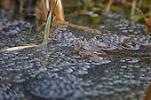 The common frog (Rana temporaria) sitting on spawn. Adults guard the spawn for a few days after they have laid it. Both Male and female attend to spawn. It is illegal to sell common frogs under the Wildlife and Countryside Act, 1981