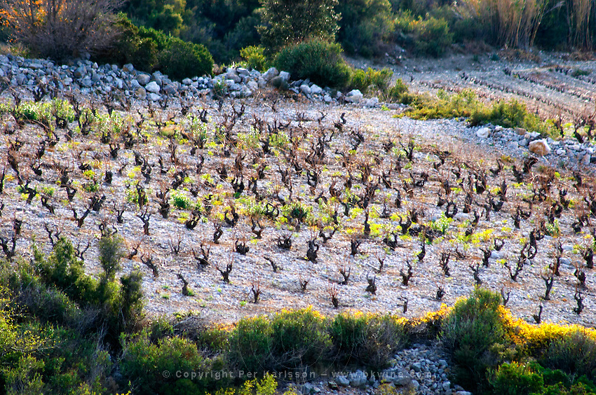 Maury. Roussillon. Vines trained in Gobelet pruning. Vineyards. Spectacular view over the mountains. France. Europe.