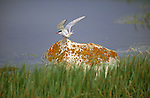 An Arctic tern takes off from its perch on a moss-covered rock.