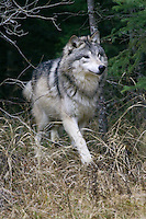 Grey Wolf walking out of a forest - CA