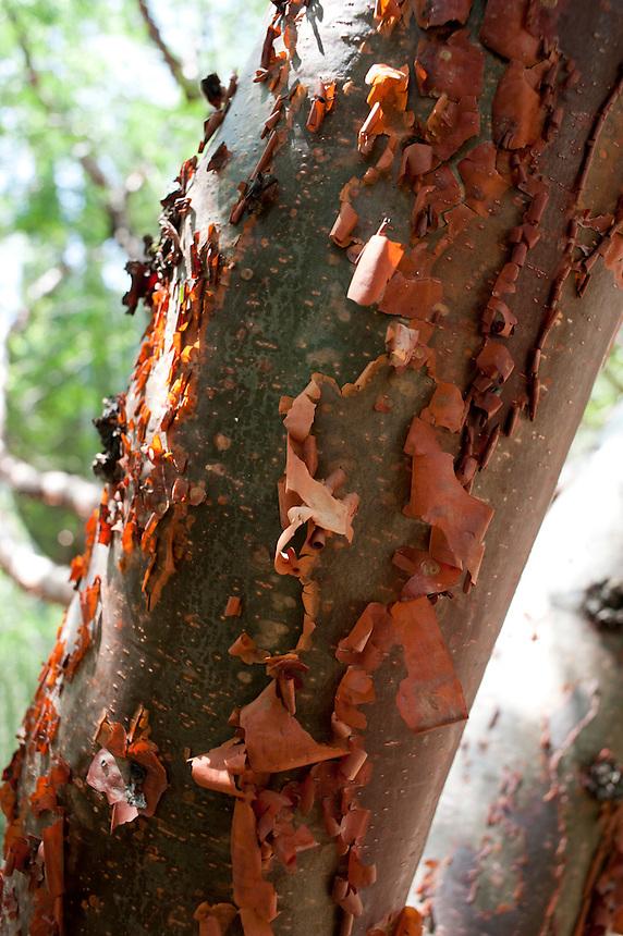 This tree at the etno-botanical gardens, is known locally as ¨Gringo Quemado¨which translates as sunburnt gringo.  Santo Domingo,  Oaxaca City, Oaxaca, Mexico