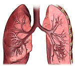 This stock medical image illustrates an anterior cut-section view through the lungs with emphasis on the hilum region.
