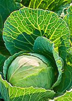 Cabbage, Brassica oleracea