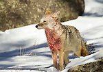 This coyote has blood covering his chest from feeding on an elk carcass that is nearby.  The snow on his face is from rolling in the snow in an attempt to wash the blood from his fur.  Photo by Gus Curtis