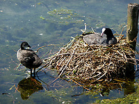 Lombardia, nido di folaghe sulle rive del fiume Adda.<br /> Lombardia, coots nest on the banks of the river Adda.