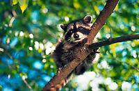 Raccoon in a tree.