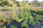 Runner beans, Phaseolus coccineus, and other garden vegetables growing in summer allotment, Shottisham, Suffolk, England, UK
