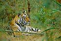 Female Bengal Tiger (Panthera tigris tigris)   (Pyari) in bamboo. Bandhavgarh National Park, Madhya Pradesh, India.