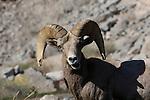 Desert bighorn sheep in La Quinta, CA