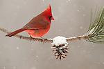 Cardinal on red pine