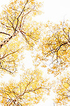 Yellow Aspen leaves against a white sky