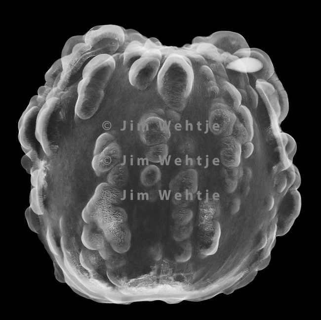 X-ray image of a freeze-dried gourd rind half (white on black) by Jim Wehtje, specialist in x-ray art and design images.