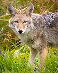 A closeup of a coyote (Canis latrans) staring at viewer while walking through the wet grass in Fall at the Ridgefield National Wildlife Refuge