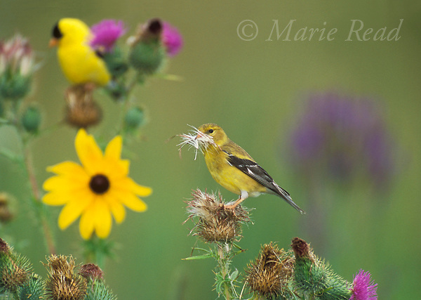 American Goldfinch (Carduelis tristis) female gathering thistle down as nest material, among summer flowers, male in background, Ithaca, New York, USA