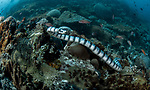 Sea Snake advancing  in Canyons of Verde Island underwater
