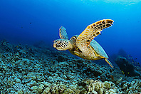 green sea turtle, Chelonia mydas, Kona Coast, Big Island, Hawaii, USA, Pacific Ocean