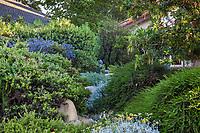 California native plant front yard garden with Eriogonum (Buckwheat), Ceanothus (California Lilac), Arctostaphylos (manzanita), Arbutus; Vincent Garden, San Diego