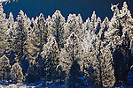 Heavy winter frost on pine trees in Montana