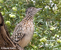 0610-1110  Greater Roadrunner (Chaparral Cock or Ground Cuckoo), Geococcyx californianus  © David Kuhn/Dwight Kuhn Photography