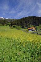Alpine village spring flowers and grass in Alpine meadow, Imst district, Austria.