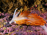 Hermissenda Nudibranch in Strait of Juan de Fuca, Washington state