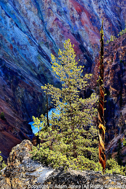 Lodgepole Pine and Grand Canyon of the Yellowstone, Yellowstone National Park, Wyoming, Pinus contorta