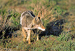 Coyote, Joshua Tree National Monument, California