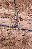 Detail of vine and soil and black rubber tube for water irrigation. Bodega Familia Schroeder Winery, also called Saurus, Neuquen, Patagonia, Argentina, South America