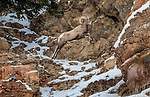 USA, Wyoming, Yellowstone National Park, bighorn sheep (Ovis canadensis)