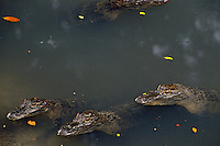 Young American Alligators (Alligator mississippiensis).  Spring.  Southeastern U.S.
