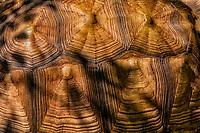 Giant torttoise shell.. Maukauwahi Cove Preserve African Sparred Tortoise. Kauai, Hawaii