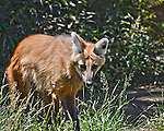 Rare Maned Wolf at the San Diego Zoo