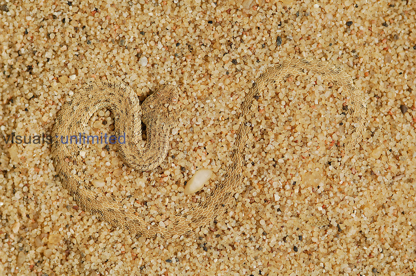 Peringueys Sidewinding Adder (Bitis peringueyi) camouflaged and partially buried in sand of a Namib Desert sand dune, Namibia.