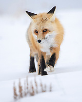 Lightfoot. Don't think I'll ever tire of seeing red fox in their mid-winter glory. A thick fur pad beneath its paw is like a snowshoe helping the fox move across snow while also providing a bit more insulation for the harsh winters of Yellowstone National Park. Stay light (and warm) my friends! Winter 2019.