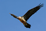 Lammergeier or Bearded Vulture in flight. Ordesa y Monte Perdido national park, Aragon, Spanish Pyrenees.