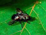 Tachinid fly Archytas sp female parasitic insect